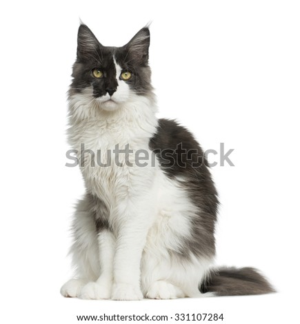 Maine Coon sitting in front of a white background - stock photo