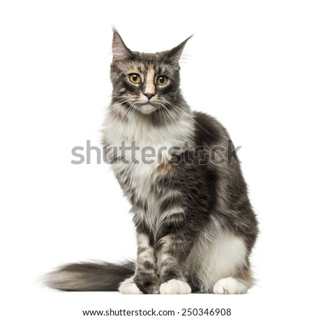 Maine Coon (2 years old) - stock photo
