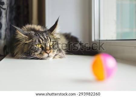 Maine coone cat on the windowsill - stock photo