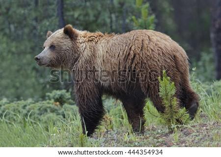 Mainland Grizzly Bear (Ursus arctos horribilis) in a light rain - Jasper National Park, Alberta, Canada - stock photo