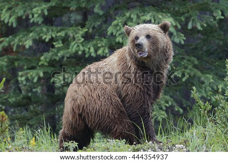 Mainland Grizzly Bear (Ursus arctos horribilis) in a light rain - Jasper National Park, Alberta, Canada