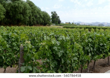 "MAIPO VALLEY, CHILE - NOVEMBER 25,2014:The vineyard of the winery ""Concho y Tora"""