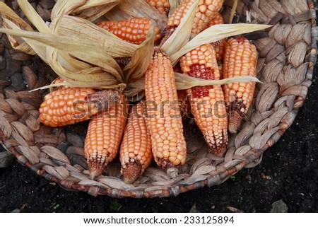 Maize - stock photo