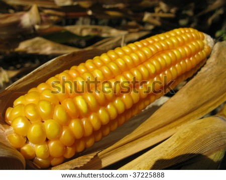 Maize, corn (Zea mays L. ssp. mays, pronounced also known in some countries as corn), is a starch. domesticated in Mesoamerica and subsequently spread throughout the American continents