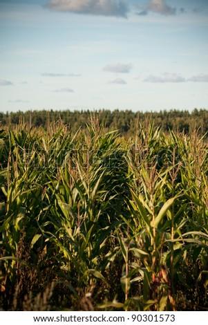 Maize field - stock photo