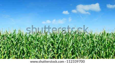 Maize field panorama against blue sky - stock photo