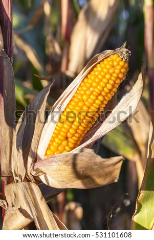 maize is grown