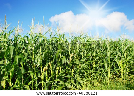 Maize on the field with sky and sun - stock photo