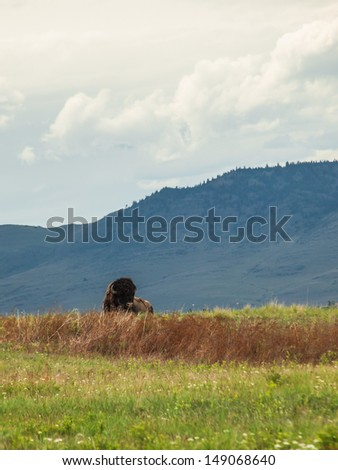 Majestic American Bison at the National Bison Range in Montana, USA - stock photo