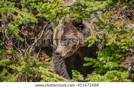 Majestic and Beautiful Grizzly Bear has Dirt on its Nose as it Forages in the Forests of Yellowstone National Park - stock photo