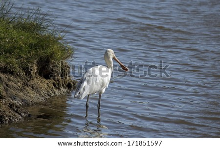 Majestic Australian Platalea flavipes yellow billed  royal spoonbill standing in the cool water of the blue  lake at Big Swamp Bunbury Western Australia on a fine sunny afternoon in summer.