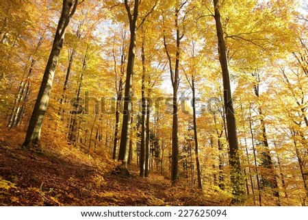 Majestic beech forest in late autumn colors. - stock photo