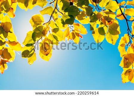 Majestic colorful leaves on the branches with sunny beams. Natural park. Dramatic morning scene. Red autumn leaves. Carpathians, Ukraine, Europe. Beauty world. - stock photo