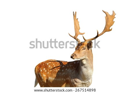 majestic fallow deer stag ( Dama ) isolated over white background - stock photo