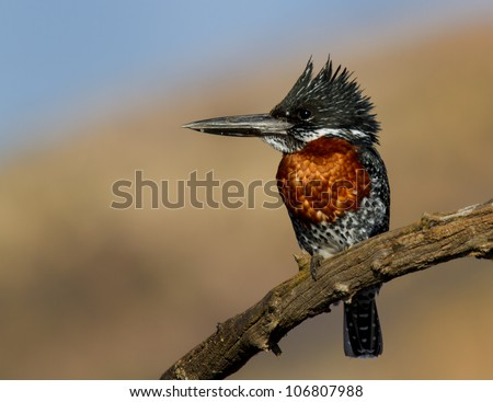 Majestic Giant Kingfisher against a lovely background - stock photo