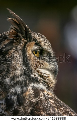 Majestic Great Horned owl gazing into the distance - stock photo