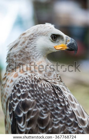 Majestic Harpy Eagle - stock photo