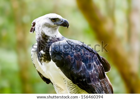 Majestic Harpy Eagle in the rainforest in Brazil. Green bokek in the background. - stock photo