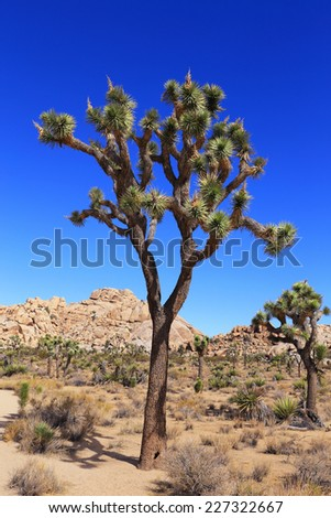 Majestic Joshua trees grow throughout Hidden Valley in Joshua Tree National Park, California.