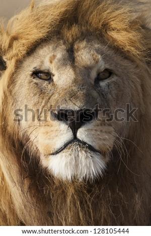 Majestic lion male close-up, Serengeti National Park - stock photo