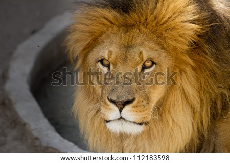 Majestic lion male with golden mane Close up