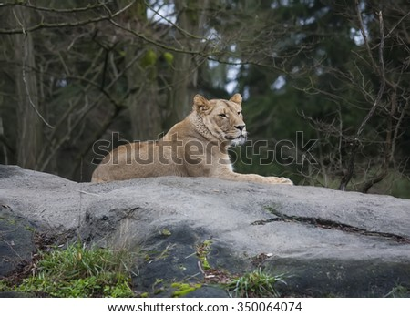 Majestic Lioness relaxing on a rock