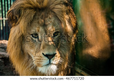 Majestic Male Lion 2