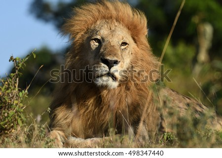 Majestic Male Lion sitting on a mound in the African bush in Masai Mara, Kenya, Africa