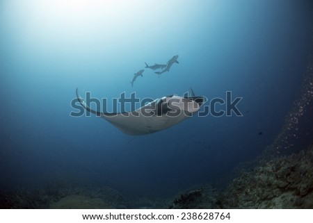 Majestic Mantas flies through the water - stock photo
