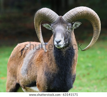 majestic mouflon on autumn background - stock photo