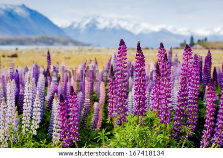 Majestic mountain landscape with lupins blooming  - stock photo