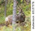 Majestic mule deer buck (Odocoileus hemionus) with velvet antler browsing the woods. - stock photo