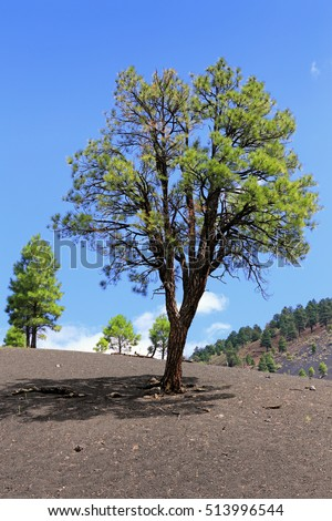 Majestic pine tree growing on grey volcanic rock-covered hill.