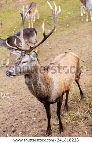 Majestic powerful adult male red deer stag on meadow. Animals in natural environment, beauty in nature.