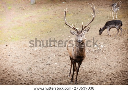 Majestic powerful adult male red deer stag with herd in autumn fall forest. Animals in natural environment, beauty in nature. - stock photo