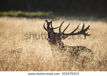 Majestic red deer stag cervus elaphus bellowing in open grass field during rut season in Autumn Fall