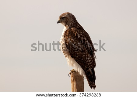 Majestic Red Tailed Hawk (Buteo Jamaicensis) perched on a wooden post and extra room for text on left side