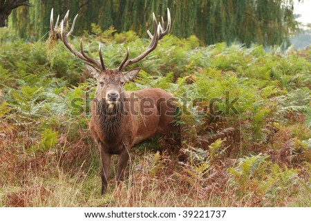 Majestic Stag Wild Red Deer in fern and wooded parkland
