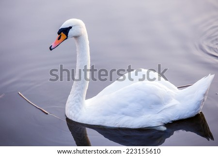 Majestic swan floating on the water surface  - stock photo