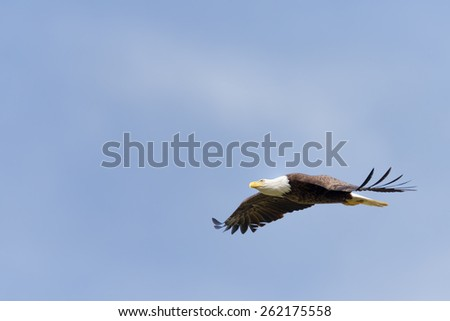 Majestic Texas Bald Eagle in flight - stock photo
