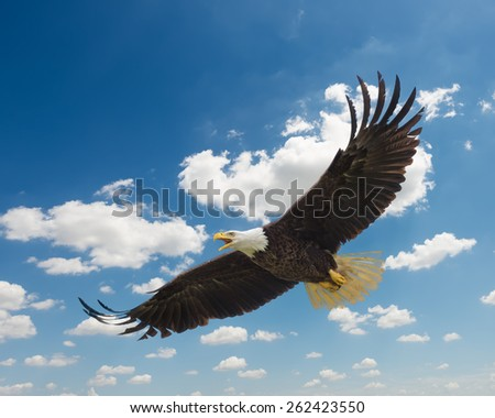 Majestic Texas Bald  Eagle in flight against a beautiful blue sky - stock photo