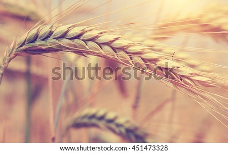 majestic views. Wheat field . Golden wheat ears close-up with the sun. A fresh crop of rye. of a rich harvest concept. for the design. Soft lighting effects. small depth of field