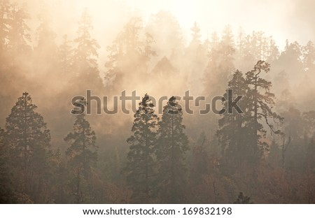 Majesty of nature: misty forest at sunrise. Himalayan pine-trees and rhododendrons. Canon 5D Mk II. - stock photo