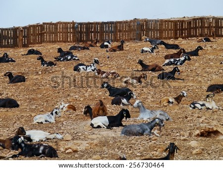 Majorera goat (cabra majorera) at a goat milk cheese farm near Llapus de la conception on the island Fuerteventura one of the Canary island in the Atlantic Ocean belonging to Spain - stock photo