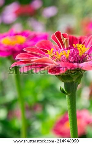 Majors, flowers - stock photo