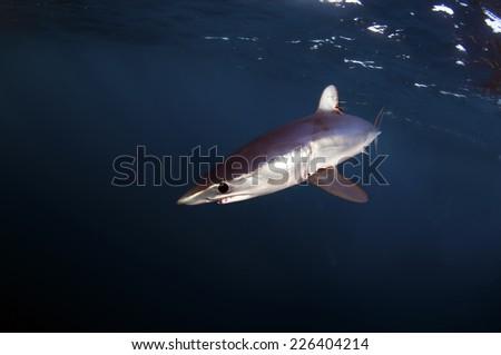 Mako Shark - stock photo