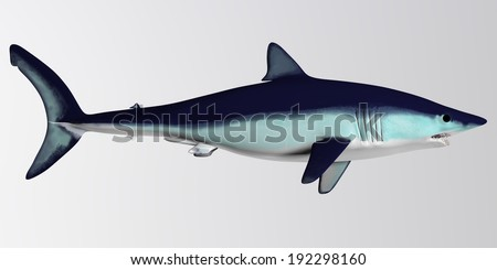 Mako Shark Side Profile - The Mako is a large species of predatory shark that can grow to 4.45 meters or 14.6 feet. - stock photo