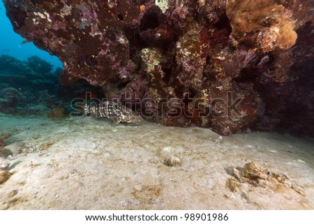 Malabar grouper and coral in the Red Sea