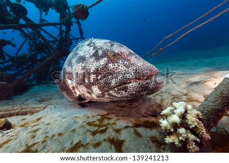 Malabar grouper in the Red Sea