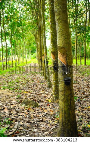MALACCA, MALAYSIA -FEBRUARI 13, 2013: Rubber trees are plants that produce latex at Jasin, Malacca, Malaysia . Latex can then be processed into a variety of valuable products from rubber.